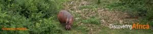 Uganda hippo-grazing