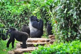 Kjongsafaris gorilla1