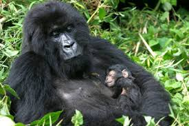 Kjongsafaris gorilla4 (2)