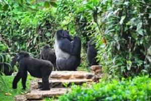 Gorilla permit discount
