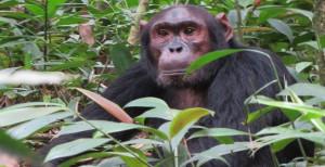CHIMPANZEE-TREKKING-SAFARIS-IN-UGANDA