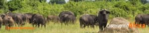 Uganda Bufalos
