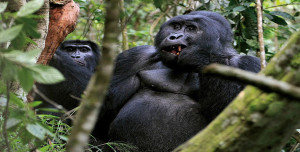 Gorilla trekking safaris in Rwanda