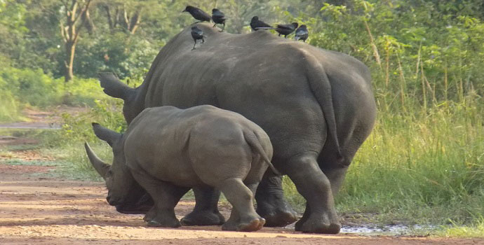 ziwa rhino sanctuary day tour