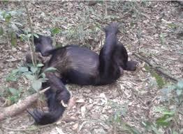 Kjongsafaris chimpanzee