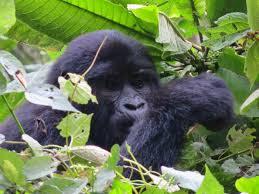 Kjongsafaris gorilla4 (1)