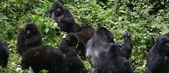 uganda national parks bwindi impenetrable national park