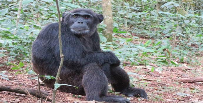 Chimpanzee in Ngamba Island