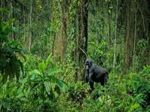 Best gorilla trekking safaris in Uganda and Rwanda
