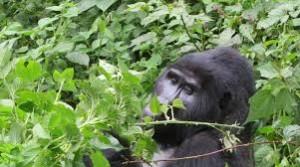 Best gorilla trekking safaris in Uganda and Rwanda2