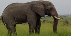 African-elephants in Uganda