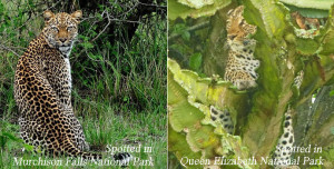 Leopards in Uganda