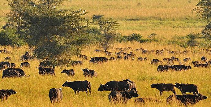 Pure Kidepo and Murchison Falls Park Wildlife Safaris Uganda