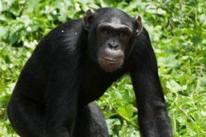 3 Days Chimpanzee Trekking Kibale