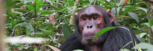 3 Days Chimpanzee trekking safaris in Kibale Uganda