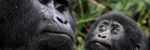 3 Days Gorilla tracking safaris in Uganda