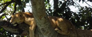 Tree climbing lion safaris in Ishasha