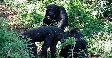 Chimpanzee trekking safaris Ngamba Island