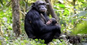 1 Day Chimpanzee Tracking in Budongo forest