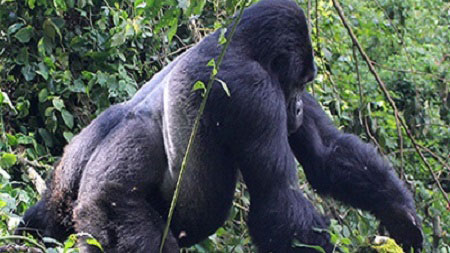 4 Days Uganda Gorilla Tracking Safaris