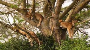Gorilla Tracking & Tree Climbing Lions