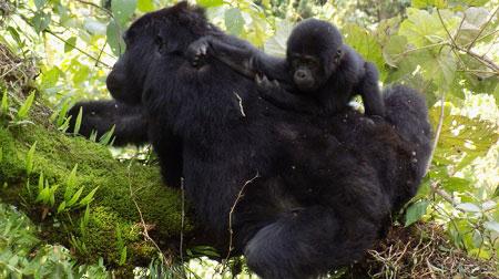 Gorilla Tracking Safari and Nature Walks