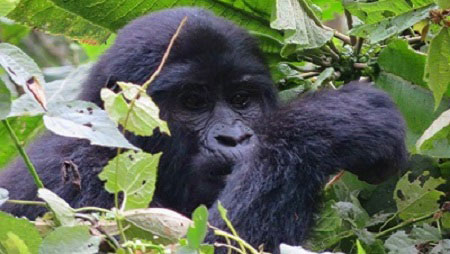 Discounted gorilla tracking safaris in Bwindi