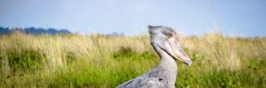 Shoebill birding safaris in mabamba