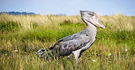 Shoebill birding Mabamba