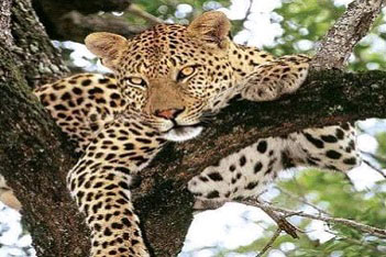 sightseeing leopards Uganda tour