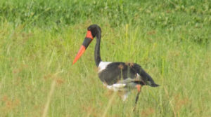 Bird watching Uganda tours