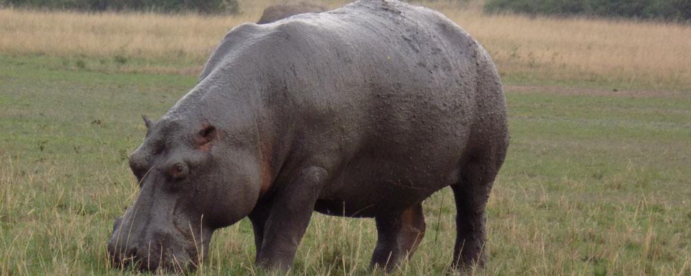 Hippo in queen Elizabeth national park