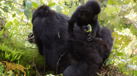 3 Days gorilla tracking safari Uganda