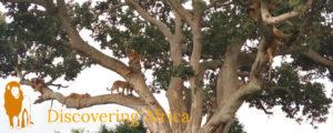 Tree climbing lions Queen Elizabeth National Park