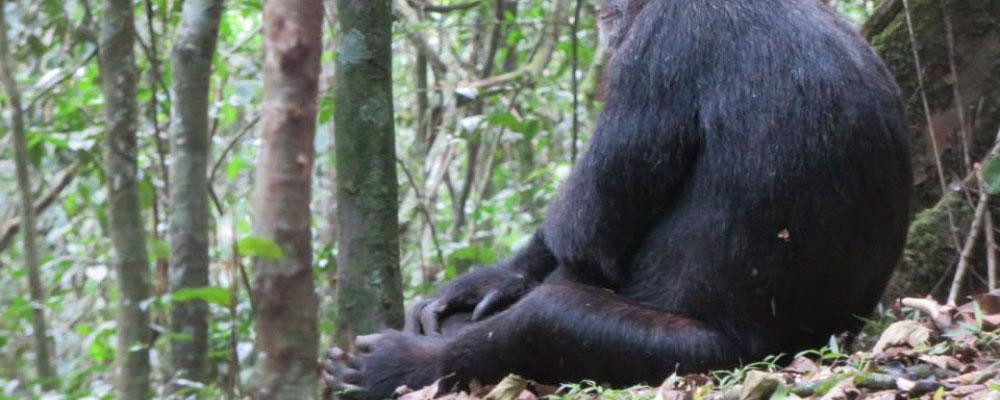 Chimpanzee trekking in Budongo forest