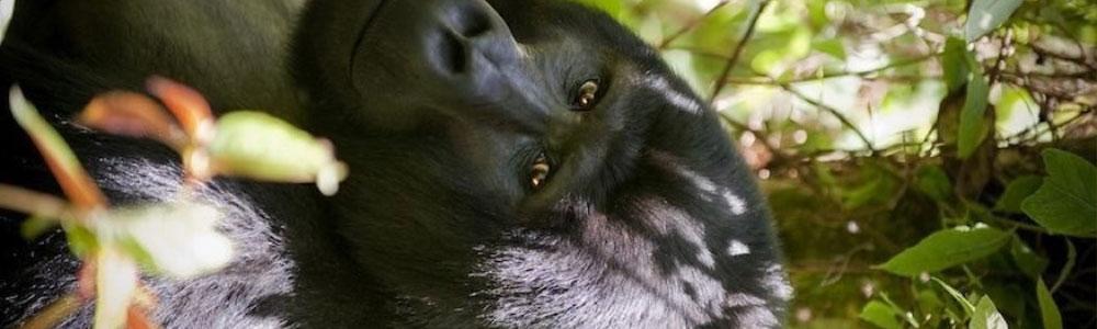 gorilla groups in Bwindi