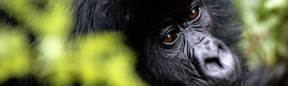 gorilla permits in Uganda and Rwanda