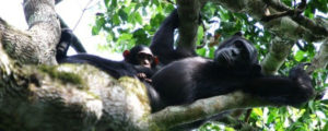 Chimpanzee trekking safaris in Kibale National Park Uganda