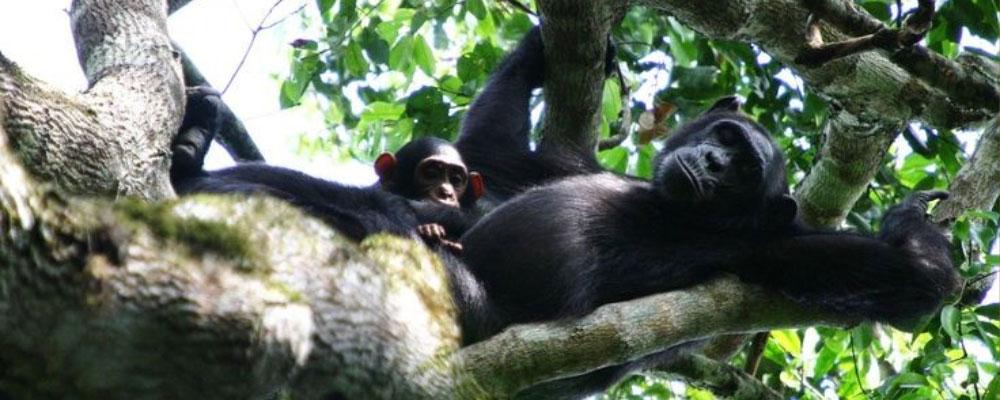 Chimpanzee trekking safaris in Kibale National Park Uganda