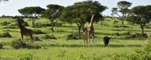 Game viewing safaris in Uganda and Rwanda