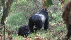 gorilla habituation safari