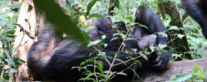 2 Days Chimpanzee tracking safaris in Nyungwe forest Rwanda