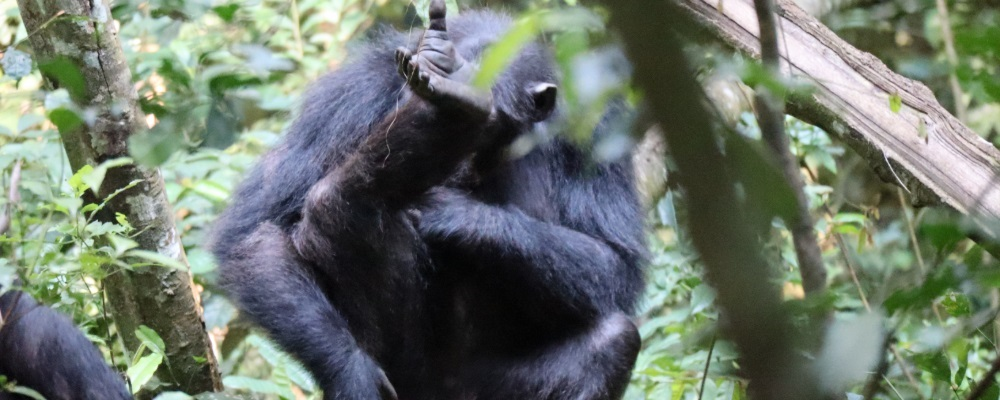 Chimpanzee Tracking Safaris in Queen Elizabeth National Park