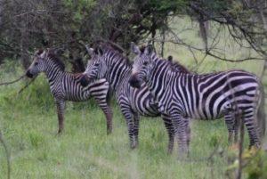 Game Drive Safaris in Rwanda