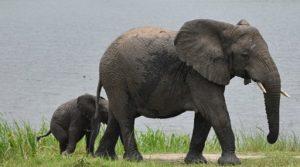 Game Drive Safaris in Rwanda Elephants
