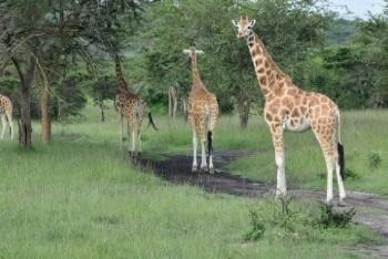 Giraffes in Murchison Falls NP