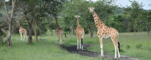 Giraffes in Murchison falls national park