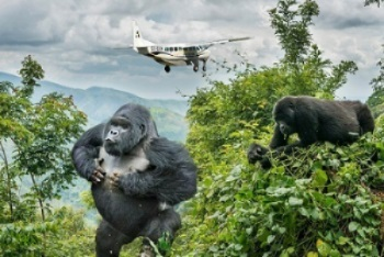 Gorilla flying safari option