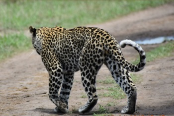 Leopards in Kidepo NP