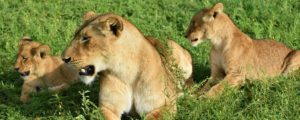 Lions in Murchison Falls National Park